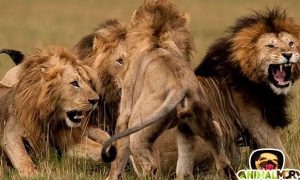"Documental ""Leones muy crueles"""